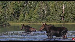 Maine Moose Photography   Wild Photo Adventures