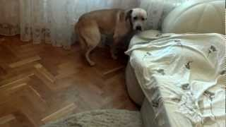 Смотреть онлайн Собака испугалась пылесоса