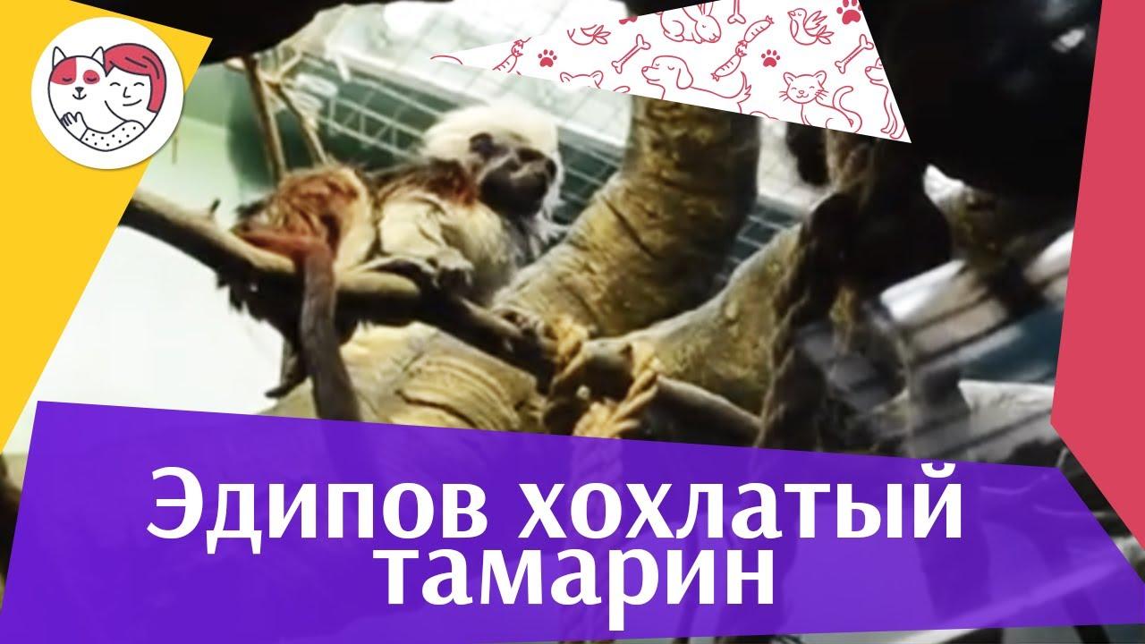 Эдипов хохлатый тамарин на ilikepet