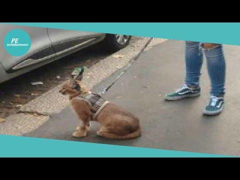 Milano, è «caccia» al caracal: felino selvatico fotografato al guinzaglio come un cane