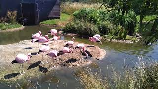 Andean flamingos nesting (July 2018)
