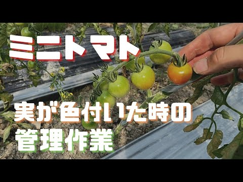 , title : '「ミニトマト栽培」定植後2か月【追肥・下葉かき】通気性と病気予防
