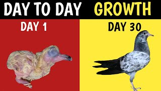 Growth of Baby Pigeon   From Hatching to 45 Days old