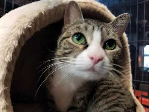 Monica, an adoptable Domestic Short Hair in South Ozone Park, NY