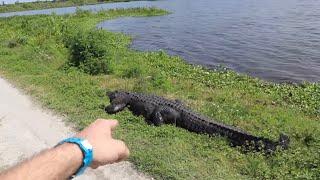 "World's Largest Alligator! Lakeland, Florida - My Search For ""GODZILLA"" of Circle B Park, Wild Gator"