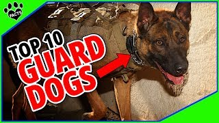 Best Guard Dogs in the World - Protecting You and Your Property