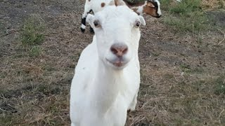 ALL NATURAL GRASS FED GOATS, CHICKENS, DUCKS SHEEP TEXAS