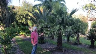 The Tree Planters, Central Florida's Premiere Tree Installer, Presents Our Chinese Fan Palm
