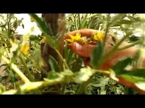 Как пасынковать низкорослые помидоры. Часть1