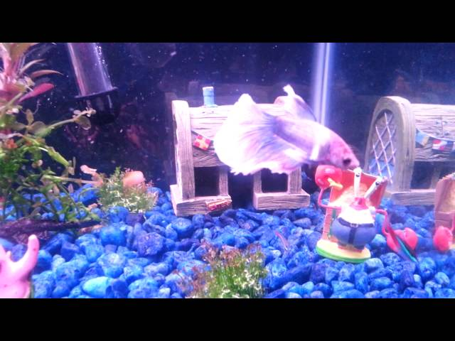 Cute spongebob square pants betta fish tank