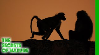Baboons - Africa's Wild Wonders - The Secrets of Nature