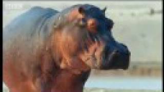 Hippopotamus - Territory