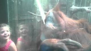 preview picture of video 'Kissing Orangutan - Chester Zoo.mp4'