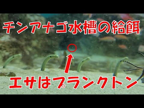チンアナゴの給餌時間  Garden eel feeding time