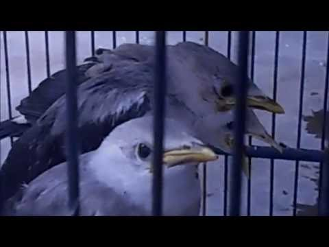 Video GT-PB #3: Cara Mudah Merawat Anakan Burung Jalak Putih. Agar Gacor...!