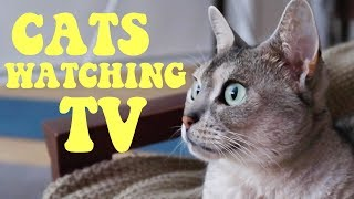 Cats watching tv | CUTE CAT CLEO