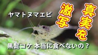 ヤマトヌマエビ黒ヒゲ黒髭藻本当に食べないのでしょうか?真実を激写Caridinamultidentata