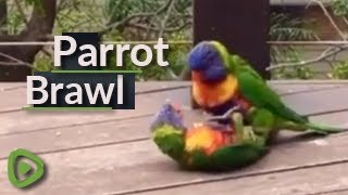 Rainbow Lorikeet couple play with each other on person's balcony