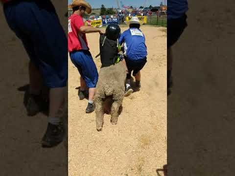 My son's Mutton Bustin Ride at the fair!