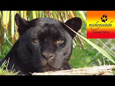 Black Jaguar Death Stare