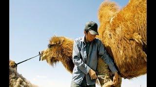 [HD] Kamelhaar - Luxus aus der Wüste Gobi (Doku)