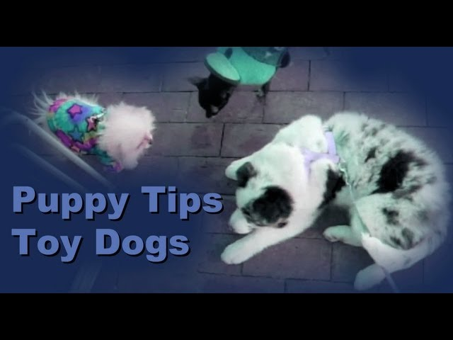 Puppy training tips: Socializing your puppy to toy dogs
