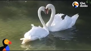 Swan Couple Has SWEETEST Reunion | The Dodo