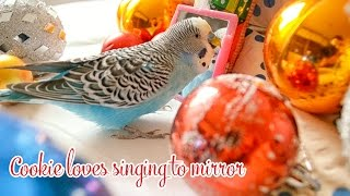 Budgie singing to Mirror   Christmas Edition