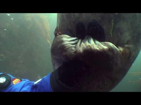 La foca stringe la mano al sub