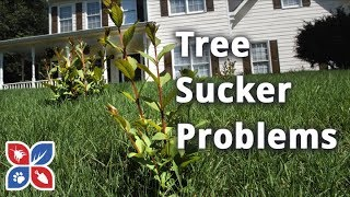 How to Get Rid of Tree Suckers - Lawn Maintenance Tips | DoMyOwn.com