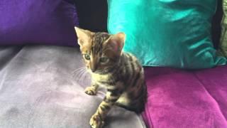 Curious Bengal Kitten