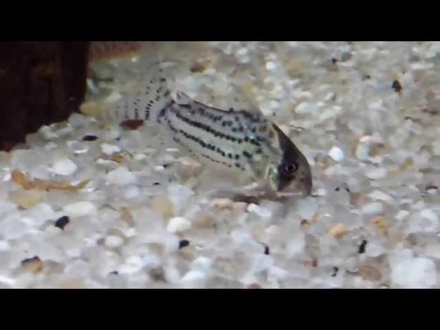 Coridora em aquário de 500 L