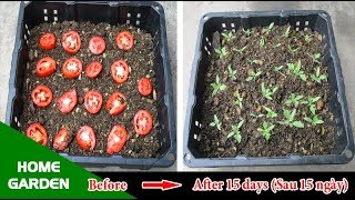 Tips for Growing Tomatoes with the familiar Tomato of the housewife