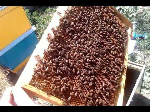 НОВАЯ УСТАНОВКА И НОВЫЙ РОЙ-как поймать бродячий рой пчел