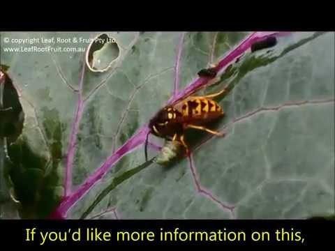 , title : 'European Wasps Eating White Cabbage Moth Caterpillars