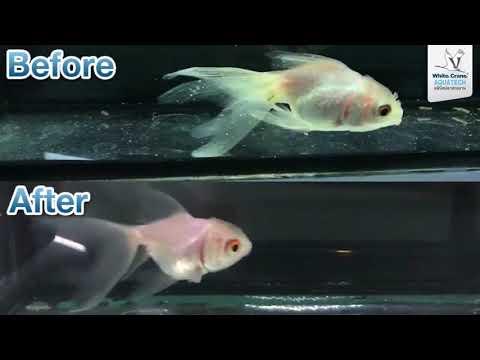 โรคจุดขาวในปลาทองรักษาอย่างไรดี คลินิคปลาสวยงาม