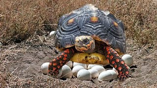 Red-Footed Tortoise laying eggs and cute babies Tortoise hatching
