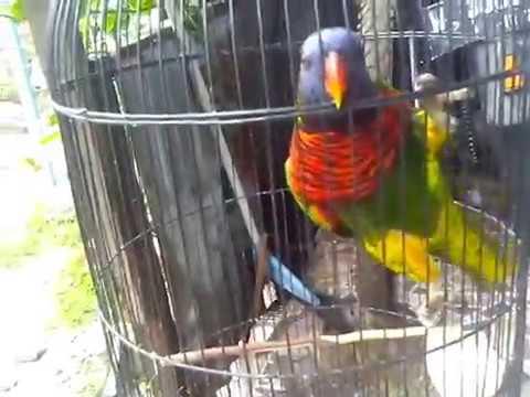 Video Melatih burung nuri pelangi dan tingkah lucunya