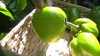 Maryland Gardener Sept 22,2020: Update and Harvest + Planting some Garlic .🥒🥒🌶🧄🧄👍👍