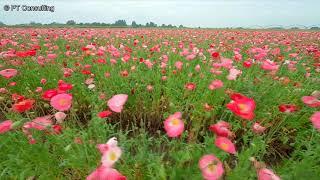 空撮 FPV 埼玉県鴻巣市「鴻巣ポピーまつり」 Aerial Shoot above Poppy and Flower Festival in Kounosu, Saitama Japan