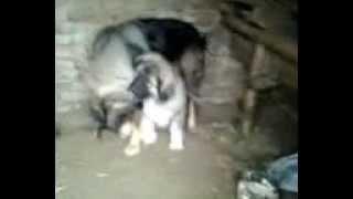 Štene kavkaskog ovčara