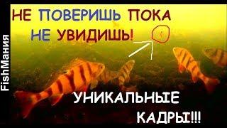 Что делает рыба, после того, как ее отпустили??? Окунь, подводные сьемки.