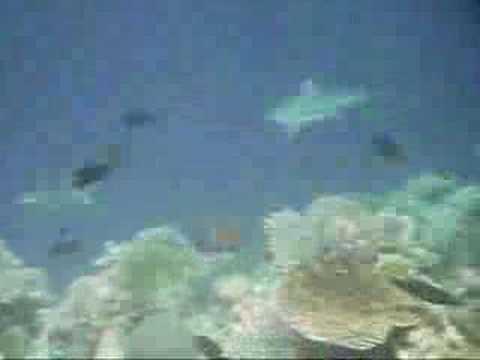 Schwarzspitzenriffhaie, Kurumathi - Rasdhoo Atoll (Ross Atoll),Malediven