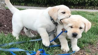 Labrador Puppies Funny Compilation #9 - Best of 2018