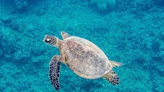 preview picture of video 'Sea Turtle in Hanauma Bay, Oahu, Hawaii'