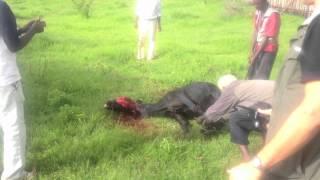 Aleta Wondo -- Bull Sacrifice