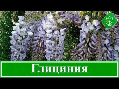 Цветок глициния – посадка и уход; выращивание глицинии из семян; как вырастить глицинию