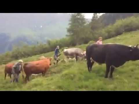 Almauftrieb auf die Alpe Zeisch, Valstertal/Tirol