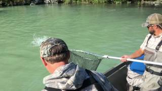 Grizzly bear fishes for salmon on Wolverine Creek / Big River Lakes, Alaska