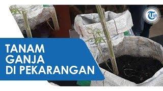 Pria di Bogor Tanam Ganja di Pekarangan Rumah